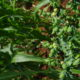 """Erba Euphorbia Lathyris, detta """"antitalpa"""""""