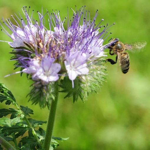 Sono diventati 14 i Comuni veneti che seminano facelia per aiutare le api e gli insetti impollinatori a vivere